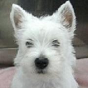 west-highland-white-terrier180