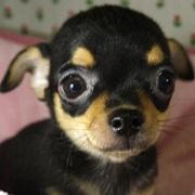 チワワスムース&ロング・小型犬種のミックス犬 | ブリーダー直販子犬販売│ドッグリアン東京