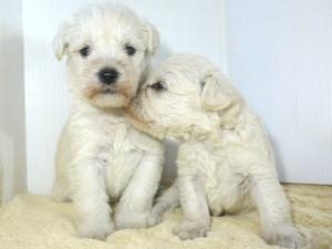 ミックス犬シュマールの兄弟