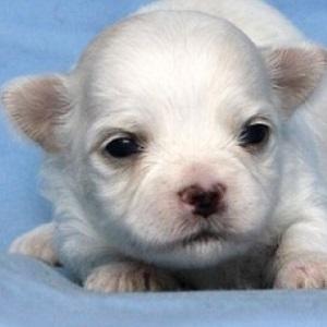 ミックス犬チワマル0408