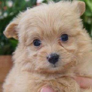 ミックス犬ポメプー0427