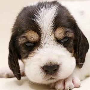 ミックス犬バセット0608