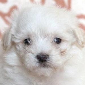ミックス犬マルプー0602