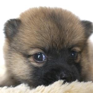 ミックス犬ポメ柴0614