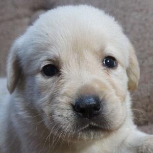 ミックス犬ラブゴールデン0608