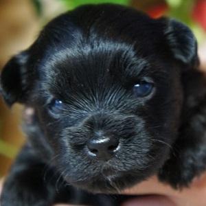 ミックス犬プーシー0806