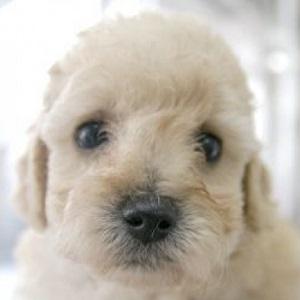 ミックス犬マルプー20160721