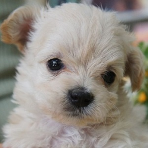 ミックス犬マルプー0101