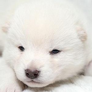 柴犬0115
