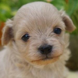 ミックス犬チワプー0306