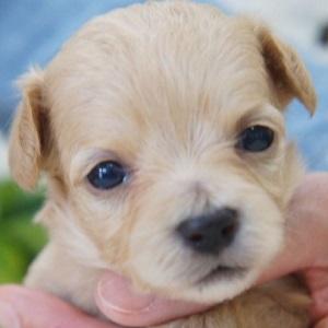 ミックス犬チワプー0327