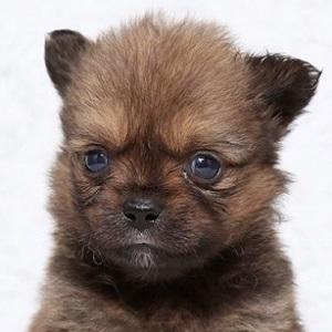 ミックス犬ポメペキ0520