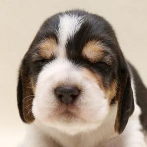 ミックス犬バセット0610