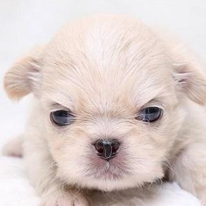 ミックス犬0624ペキチワ