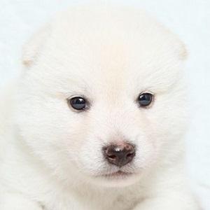 柴犬0708