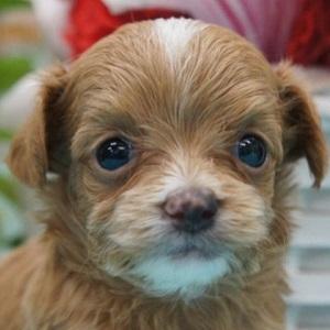 ミックス犬チワプー0820