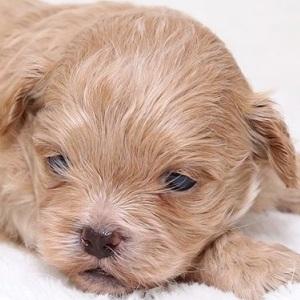 ミックス犬ペキプー0827