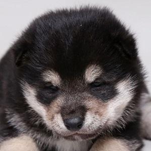 柴犬0927