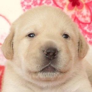 あっさりしたお顔のラブラドールレトリバーの子犬