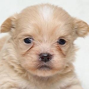 ミックス犬ペキプー1110