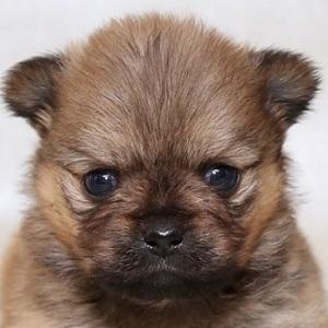 ミックス犬ペキプー1125