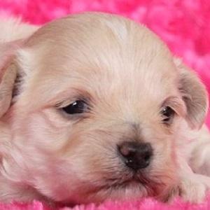 ミックス犬マルプー1102