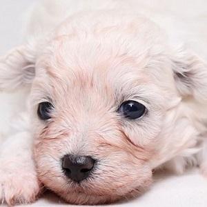 ミックス犬マルプー1104