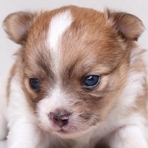 ミックス犬マルポメ1106