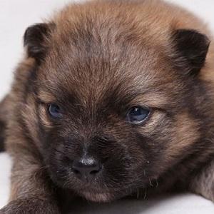 ミックス犬マルポメ1113