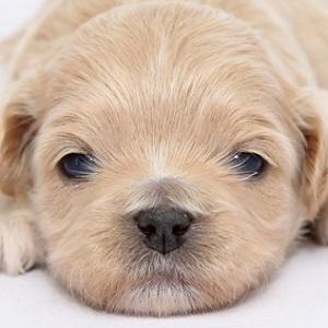 ミックス犬ペキプー0218
