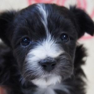 ミックス犬ポメパピ0225