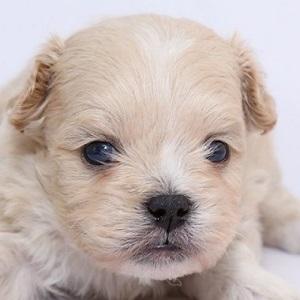 ミックス犬ペキプー0520