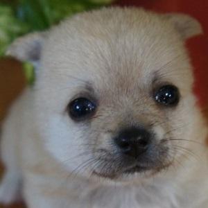 ミックス犬ポメチワ0516