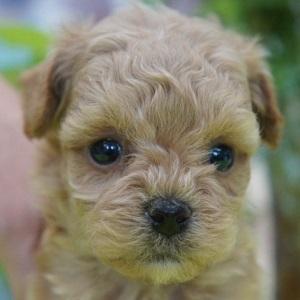 ミックス犬マルプー0504