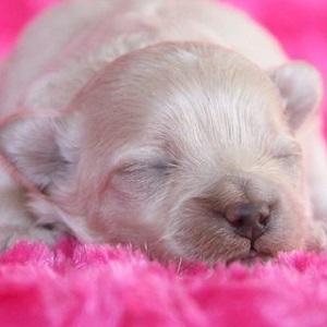 ミックス犬マルプー0514