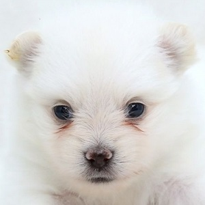 ミックス犬マルプメ0603