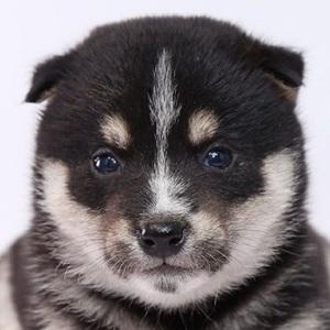 柴犬0701