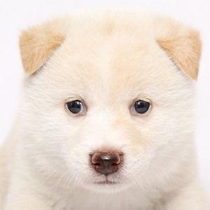柴犬0707