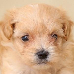 ミックス犬マルプー0811