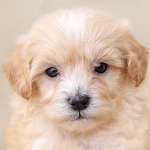 ミックス犬マルプー08112