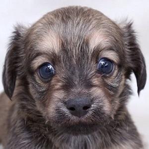 ミックス犬チワックス1214