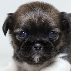ミックス犬チワニーズ1126