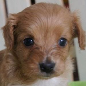 ミックス犬チワプー1105