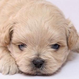 ミックス犬ペキプー1224