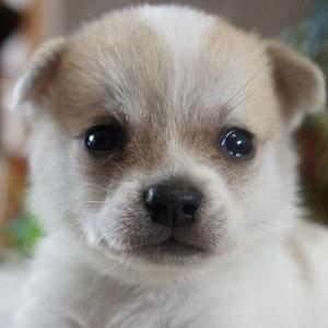 ミックス犬ポメチ1115