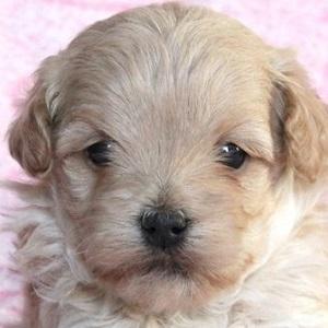 ミックス犬マルプー1127
