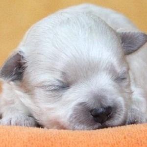 ミックス犬マルプー1205
