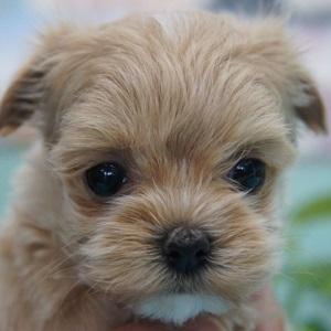 ミックス犬マルプー0211