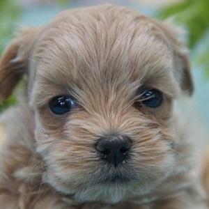 ミックス犬マルプー0303