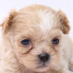ミックス犬ペキプー0518